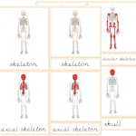 Parts of the Skeleton Nomenclature Cards